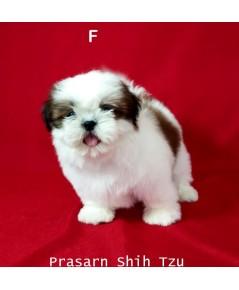 ลูกสุนัขชิสุเกิดวันที่ 23/02/2561 - F