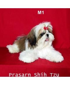 ลูกสุนัขชิสุเกิดวันที่ 12/12/2560 - ครอกที่ 1 - M1