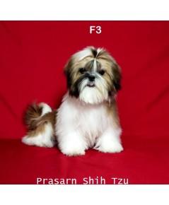 ลูกสุนัขชิสุเกิดวันที่ 6/01/2561- F3