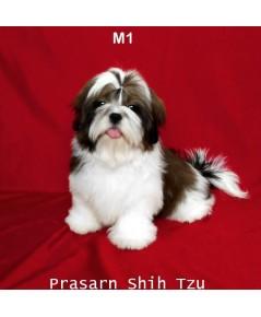 ลูกสุนัขชิสุเกิดวันที่ 20/05/2561 - M1 (Available Now)