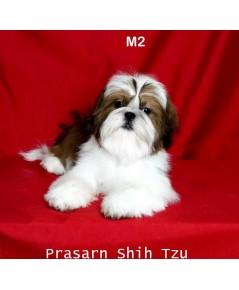 ลูกสุนัขชิสุเกิดวันที่ 20/05/2561 - M2 (Available Now)