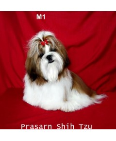 ลูกสุนัขชิสุเกิดวันที่ 23/02/2561 - M1