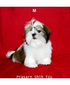 ลูกสุนัขชิสุเกิดวันที่ 12/06/2561 - M
