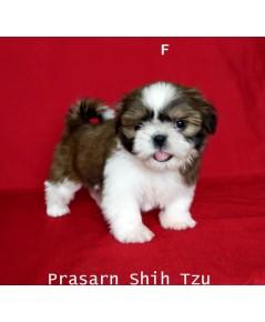 ลูกสุนัขชิสุเกิดวันที่ 26/09/2561 - F