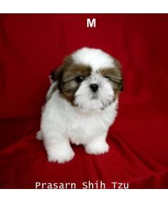 ลูกสุนัขชิสุเกิดวันที่ 16/12/2561 - M