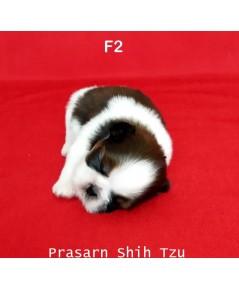 ลูกสุนัขชิสุเกิดวันที่ 7/02/2562 - F2 (Available Now)