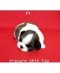 ลูกสุนัขชิสุเกิดวันที่ 7/02/2562 - F1 (Available Now)