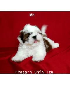 ลูกสุนัขชิสุเกิดวันที่ 2/01/2562 - M1 (Available Now)