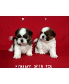 ลูกสุนัขชิสุเกิดวันที่ 16/01/2562