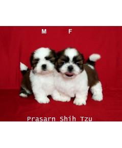 ลูกสุนัขชิสุเกิดวันที่ 11/02/2562 (Available Now)