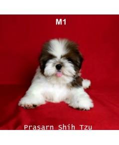 ลูกสุนัขชิสุเกิดวันที่ 8/02/2562 - M1 (Available Now)