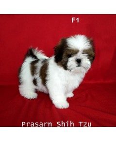 ลูกสุนัขชิสุเกิดวันที่ 7/03/2562 - F1 (Available Now)