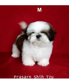 ลูกสุนัขชิสุเกิดวันที่ 22/03/2562 - ครอกที่ 1