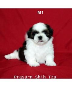 ลูกสุนัขชิสุเกิดวันที่ 14/09/2562 - M1 (Reserved)