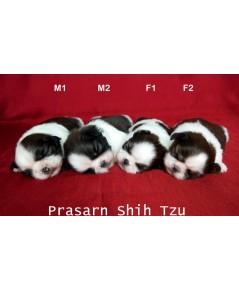 ลูกสุนัขชิสุเกิดวันที่ 10/11/2562 (Reserved)