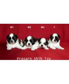 ลูกสุนัขชิสุเกิดวันที่ 26/11/2562 (Available Now)