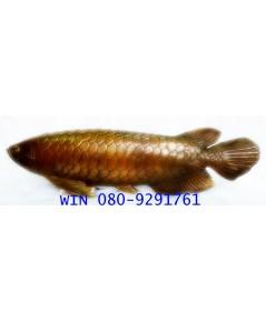 ปลามังกรมงคล เสริมโชคลาภ