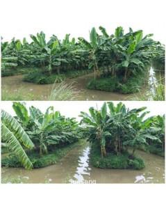 ขายที่ดิน พร้อมต้นกล้วยประมาณ 10,000 ต้น (ไม่รวมเครือกล้วย)