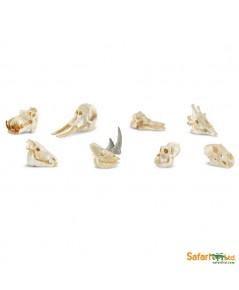 SFR 683504:Mammal Skull