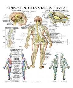 Anatomical : ANCAMZ004* โปสเตอร์รูปภาพ Chart Spinal Nerves