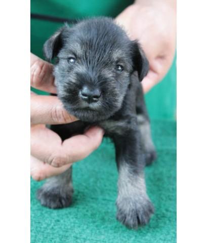 ลูกสุนัขมิเนเจอร์ ชเนาเซอร์ เพศผู้ สี Salt and Pepper เชือกคอเขียว