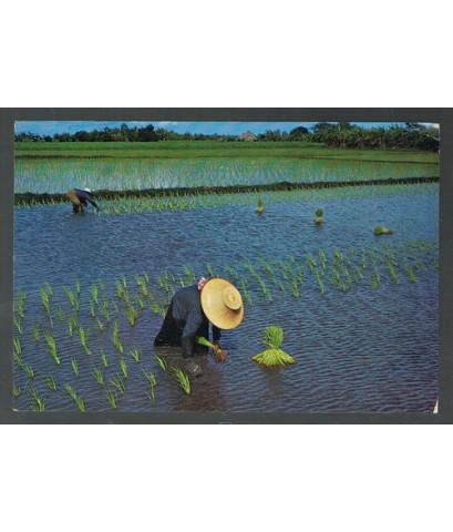 ภาพโปสการ์ดเก่า ชาวนาไทยดำนา(สินค้าหมดแล้ว)