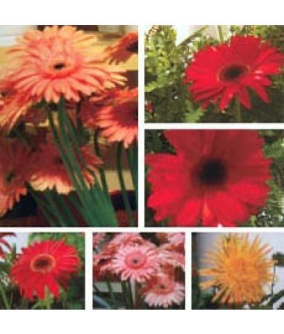 ดอกเยียบีร่าหรือเยอบีร่า(Gerbera)