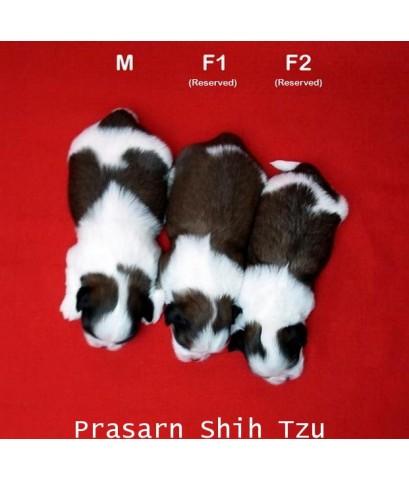 ลูกสุนัขชิสุเกิดวันที่ 7/07/2562 (Avialable Now)