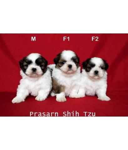 ลูกสุนัขชิสุเกิดวันที่ 7/07/2562