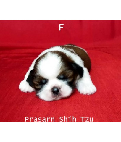 ลูกสุนัขชิสุเกิดวันที่ 18/09/2562 (Available Now)