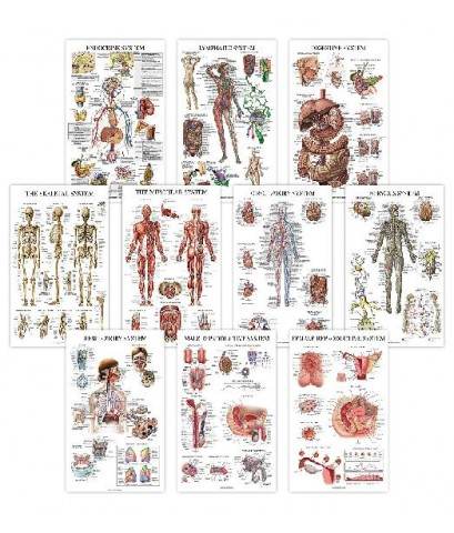 Anatomical : ANCAMZ001* โปสเตอร์รูปภาพ Chart Anatomical Poster Set