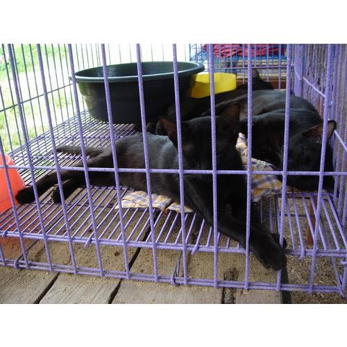 แมวโกญจา (แมวดำปลอด) พันธ์แท้ สีสวย มีหลายตัว หลายคอกให้เลือก ทั้งเพศผู้และเพศเมีย